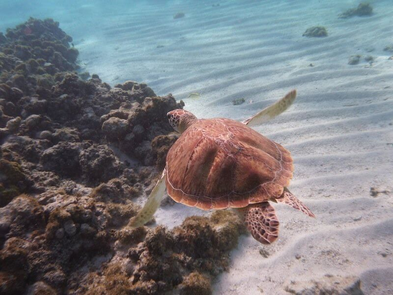 tortue croisiere guadeloupe